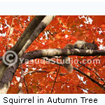 Squirrel in Fall Tree